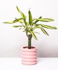 Dracena, w doniczce różowej ceramicznej