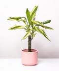 Dracena, w różowym ceramicznym walcu